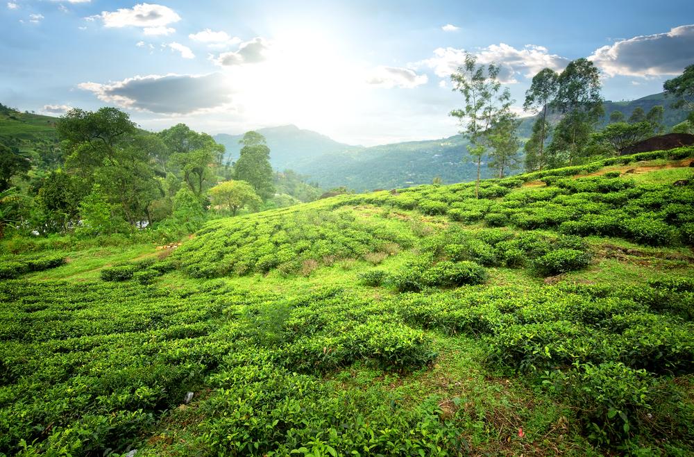 tea-field