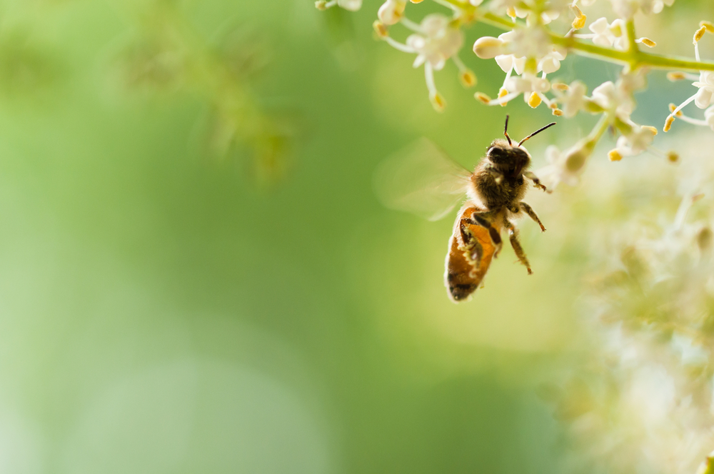 【アメリカ】生物多様性センター、北米の300種以上のハチが絶滅の恐れありと報告 1