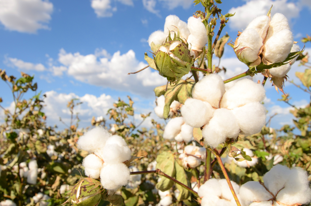 【アメリカ】GAP、2021年までに綿を100%持続可能な調達に。ベター・コットン・イニシアチブと協働 1