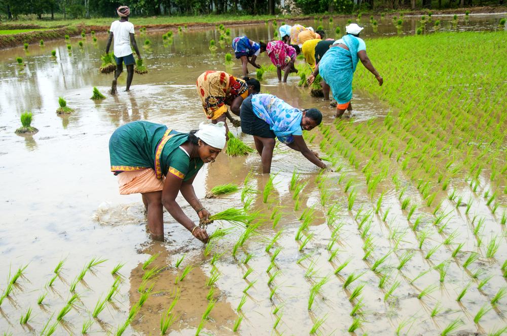 【インド】気候変動とコメ農家のサステナビリティ。伝統的コメ品種復興運動が示すもの 1
