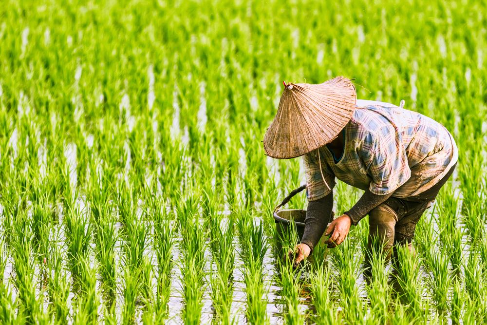 【国際】UNEPと国際稲研究所、世界のコメ農家の気候変動対応で提携 1