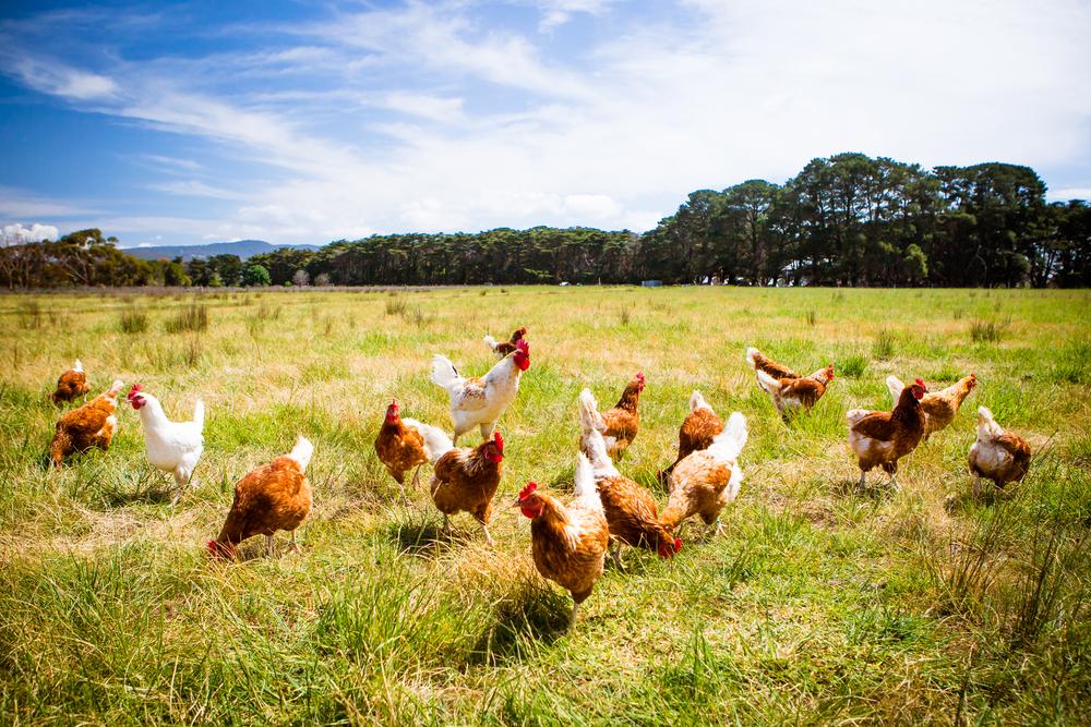 【スイス】ネスレ、2025年までに世界中で卵原料を全て「ケージフリー卵」へ切り替え 1