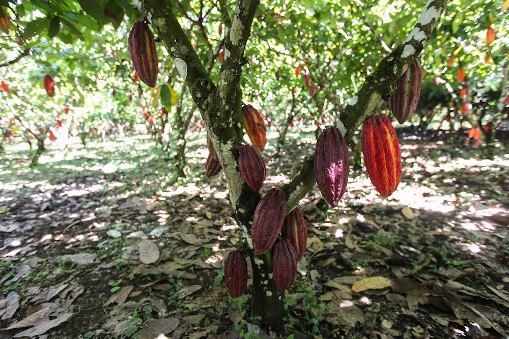 【国際】世界カカオ財団と企業21社、コートジボワールとガーナの熱帯雨林保護・再生で協働 1