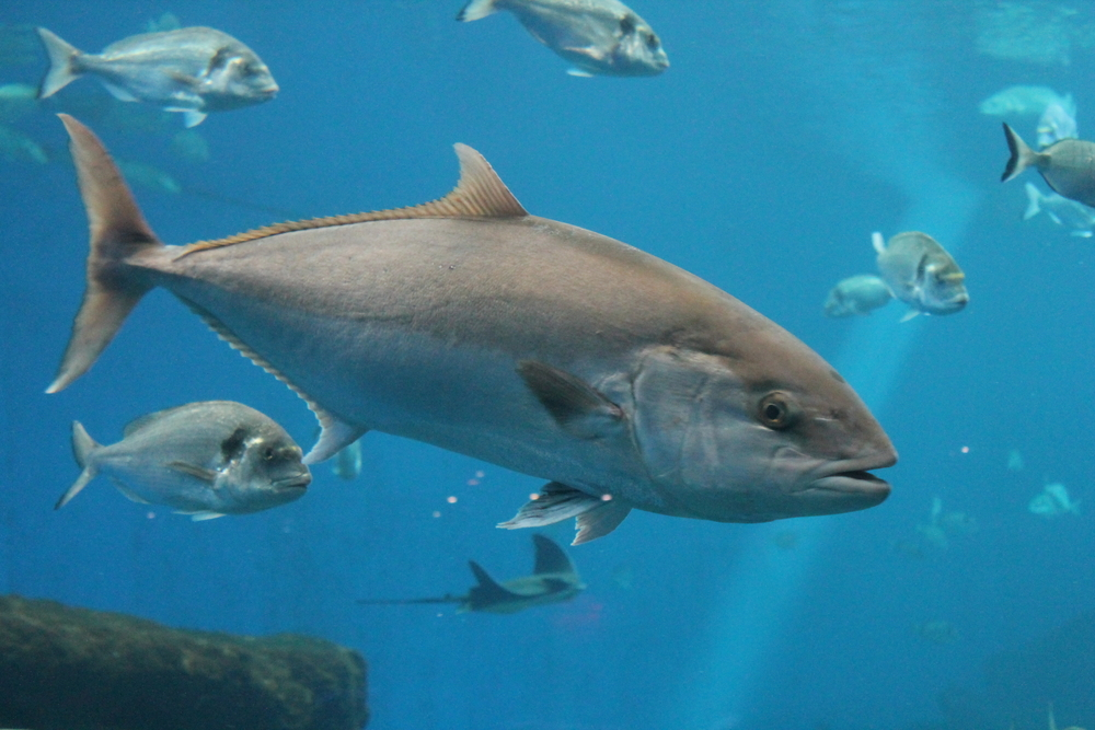 【国際】中西部太平洋まぐろ類委員会、太平洋クロマグロ漁獲枠に漁獲制御ルールを導入 1