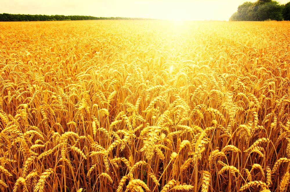 【アメリカ】ゼネラル・ミルズ、米国小麦農家に対する土壌改善でNGOに約8,300万円拠出 1