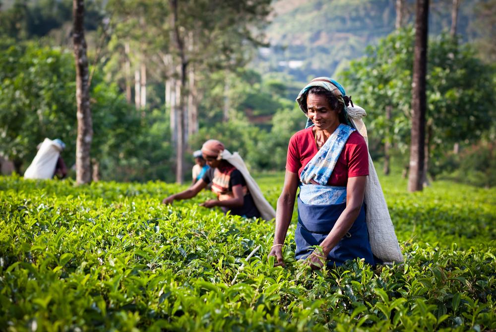 【スリランカ】キリン、現地の紅茶農家を支援。RA認証の取得率70%や水源保全目指す 1