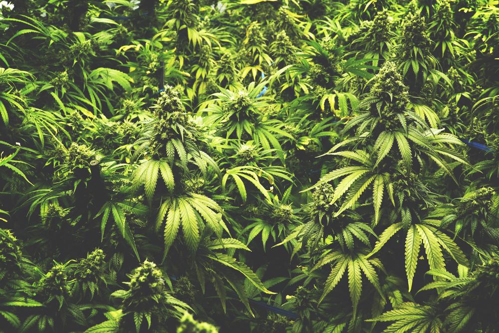 【カナダ】上下院、大麻合法化法案を可決。今年10月にはG7初の大麻所持・使用合法化国に 1