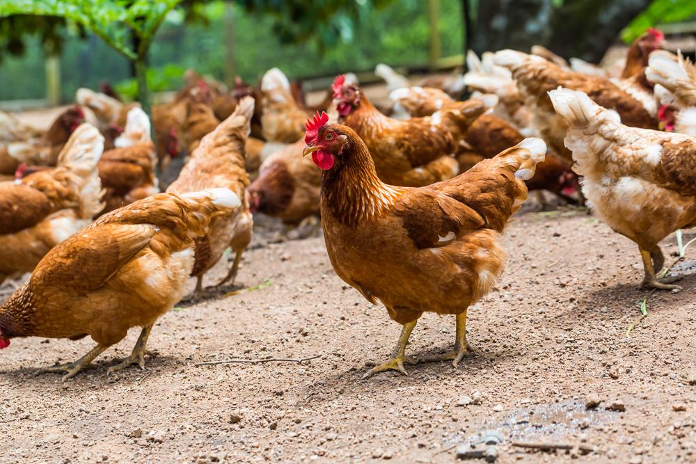 【スイス】ネスレ、2026年までに欧州全製品の食品使用鶏肉をケージフリー鶏肉に切り替え 1
