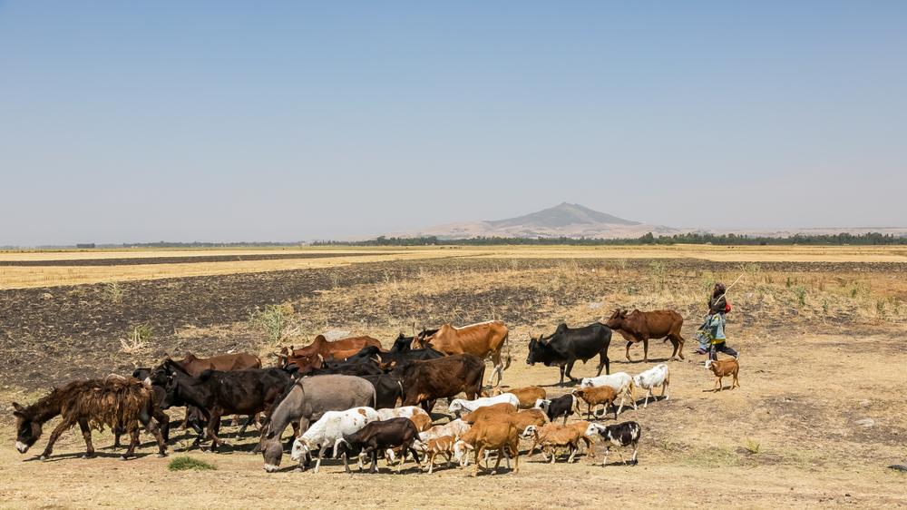 【アフリカ】FAOの早期計画早期アクションプログラム、牧畜家支援に効果。費用対効果9倍 1