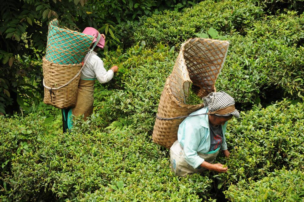 【イギリス】紅茶大手クリッパー・ティー、インドの茶葉サプライヤーリスト公表 1