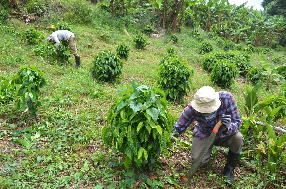 【アメリカ】ネスプレッソ、スターバックス等、プエルトリコのコーヒー産業復興で連携 1