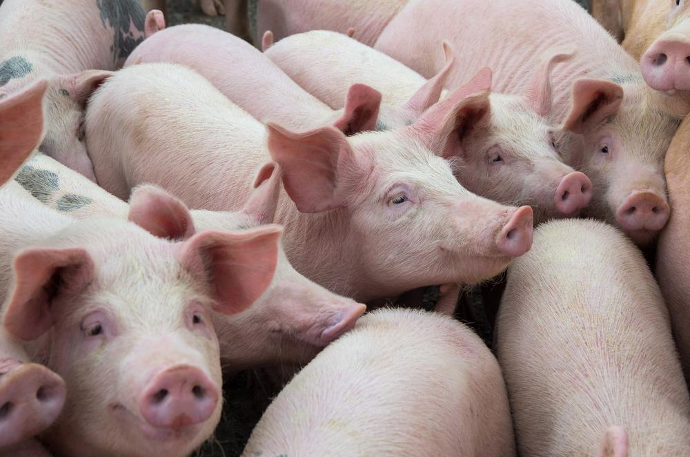 【日本】岐阜県で大規模な豚コレラ感染発生。3ヶ月間で約1万頭を殺処分。沈静化目処立たず 1