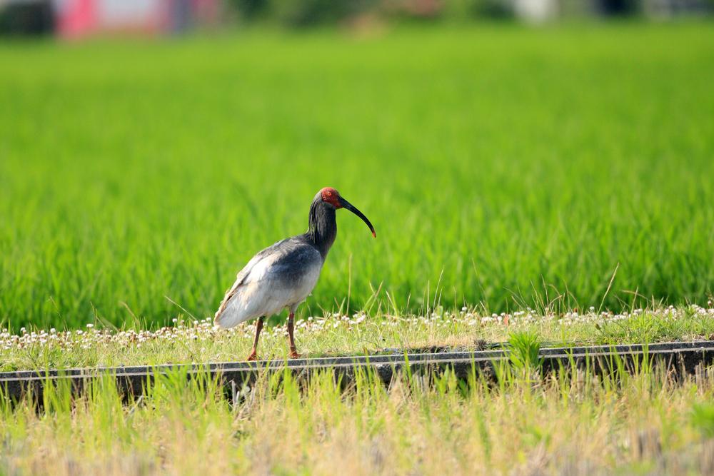【日本】環境省、絶滅の恐れのある野生生物「レッドリスト2019」発表。トキが野生絶滅から回復 1