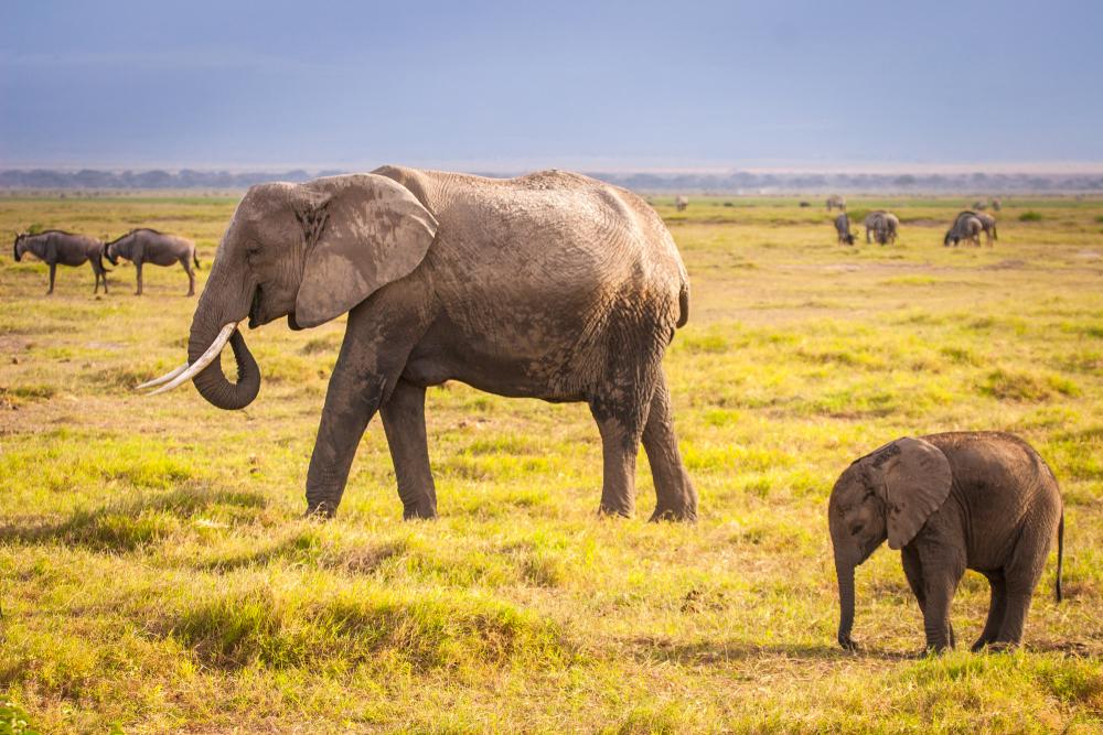 【国際】アフリカ9ヶ国、アフリカゾウ象牙の商業輸出入全面禁止をワシントン条約締約国会議で起案 1