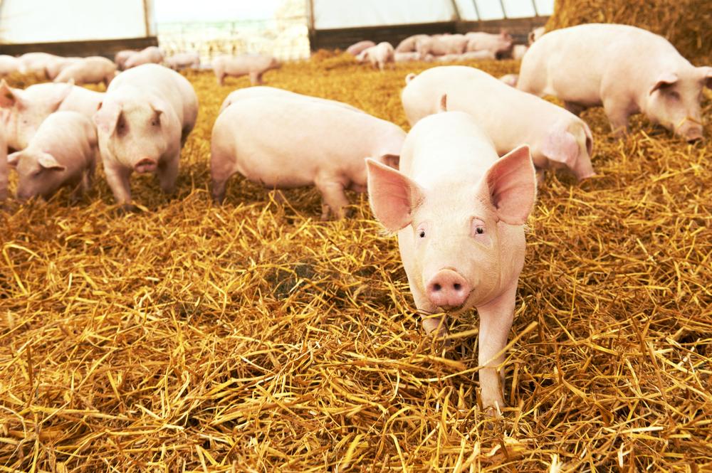 【日本】豚コレラが関西、長野に大幅拡大。15,000頭殺処分。3財務局は金融機関に丁寧な対応要請 1