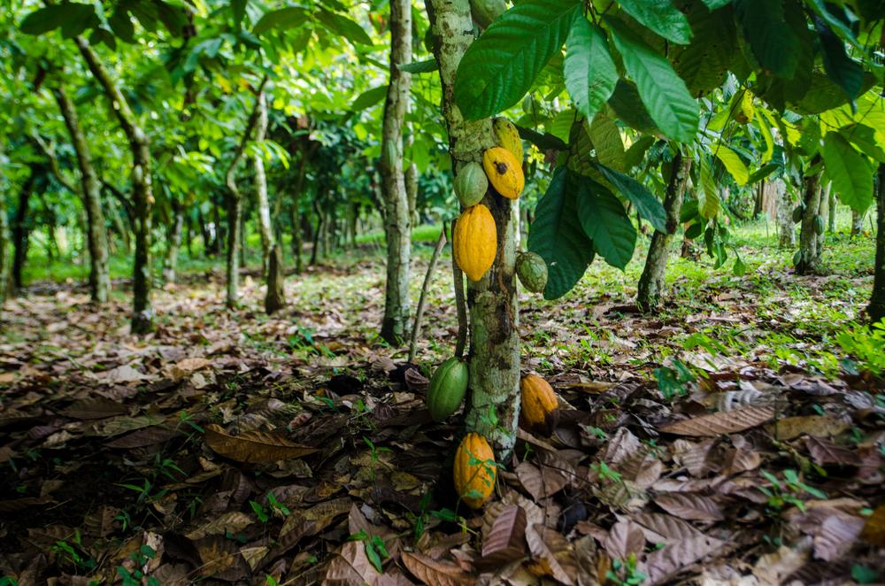 【アメリカ】フェアトレードUSA、カカオ最低価格を20%引き上げ。生産農家の脱貧困のため 1