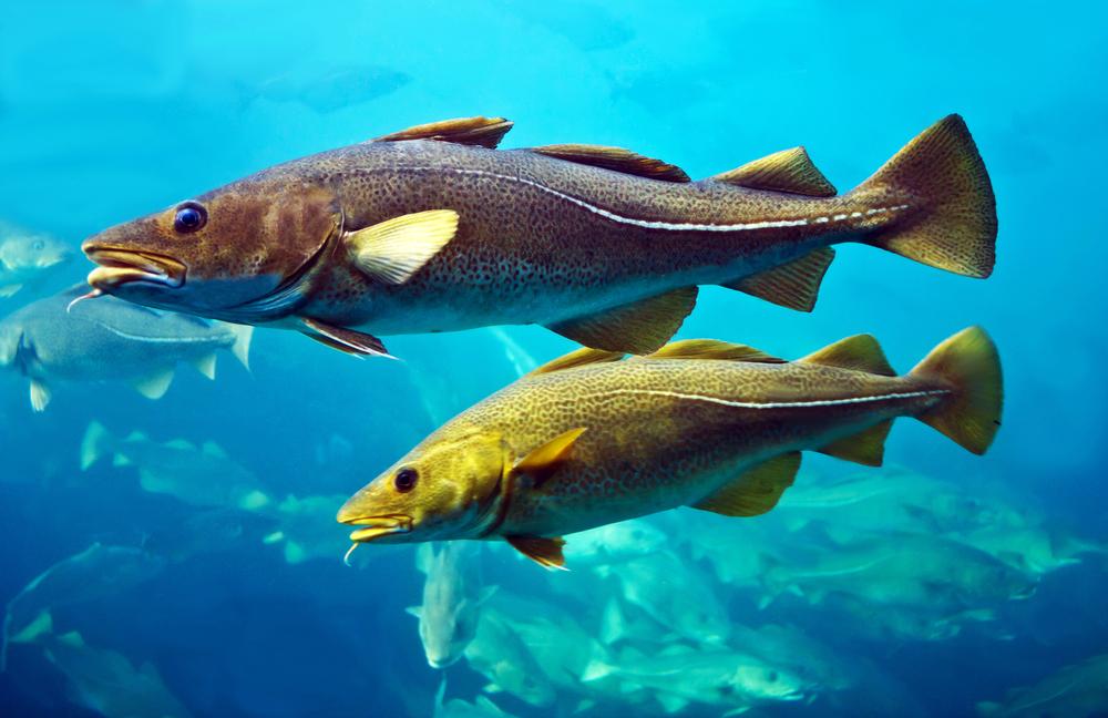 【EU】欧州委、東バルト海でのタラ漁を年内全面禁止。資源量激減の懸念。2020年以降の措置も検討 1