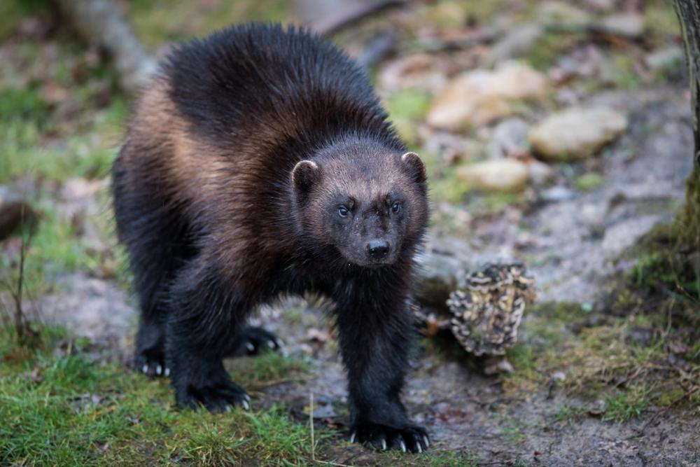 【アメリカ】政府、種の保存法の規制緩和決定。絶滅危惧種保護に経済影響観点を重視。環境NGO危惧 1