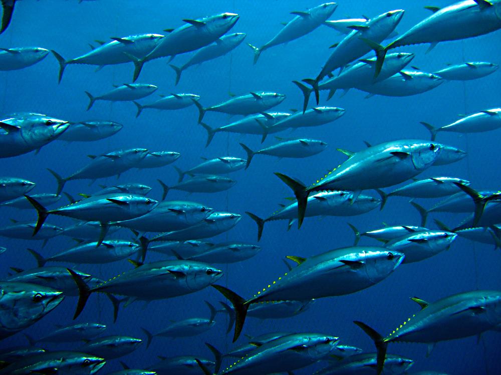 【国際】中西部太平洋まぐろ類委員会、日本水産庁提案のクロマグロ漁獲枠拡大提案。2019年も却下 1