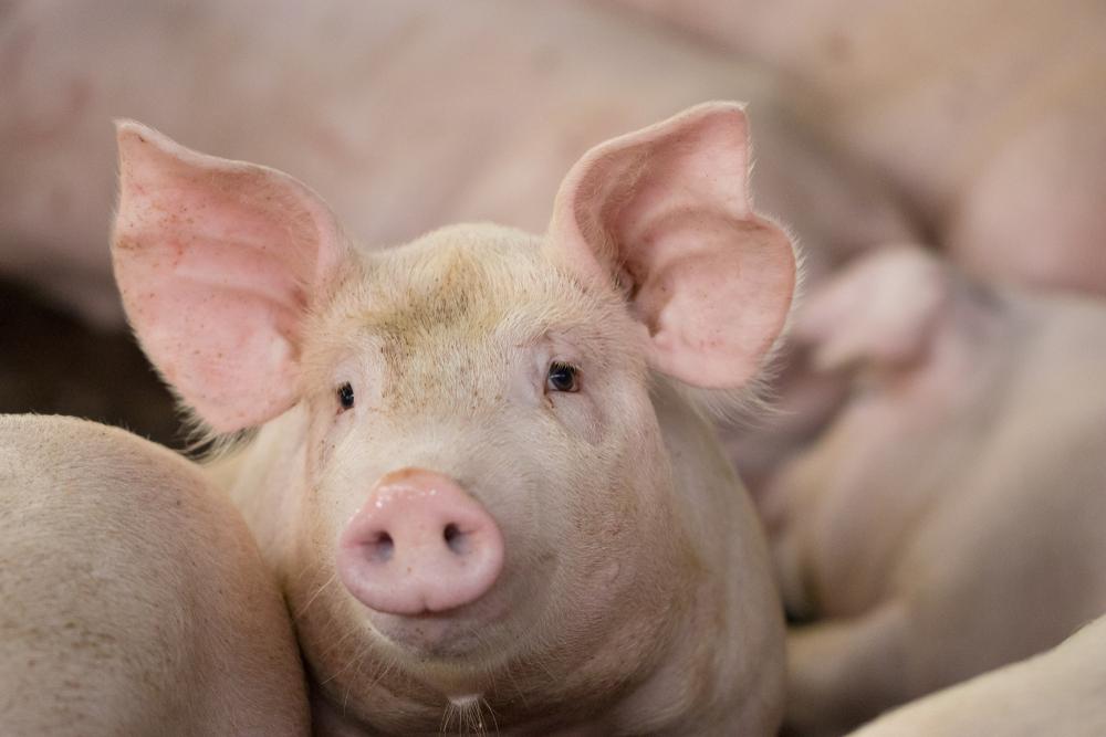 【日本】農水省、豚コレラ防疫指針を改定。都道府県知事判断での予防的ワクチン接種を許容。同省が地域指定 1