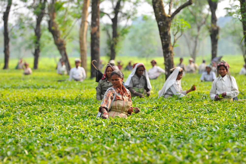 【イギリス】オックスファム、インドやブラジルの茶葉・果実農園で労働搾取と発表。英小売大手回答 1