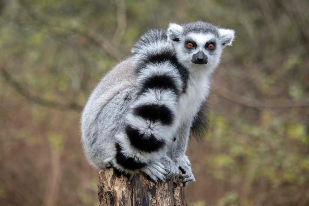 【国際】IUCN、絶滅危惧レッドリスト更新。キツネザルが絶滅危惧IA種、マツタケやヤシガニがII種に指定 1