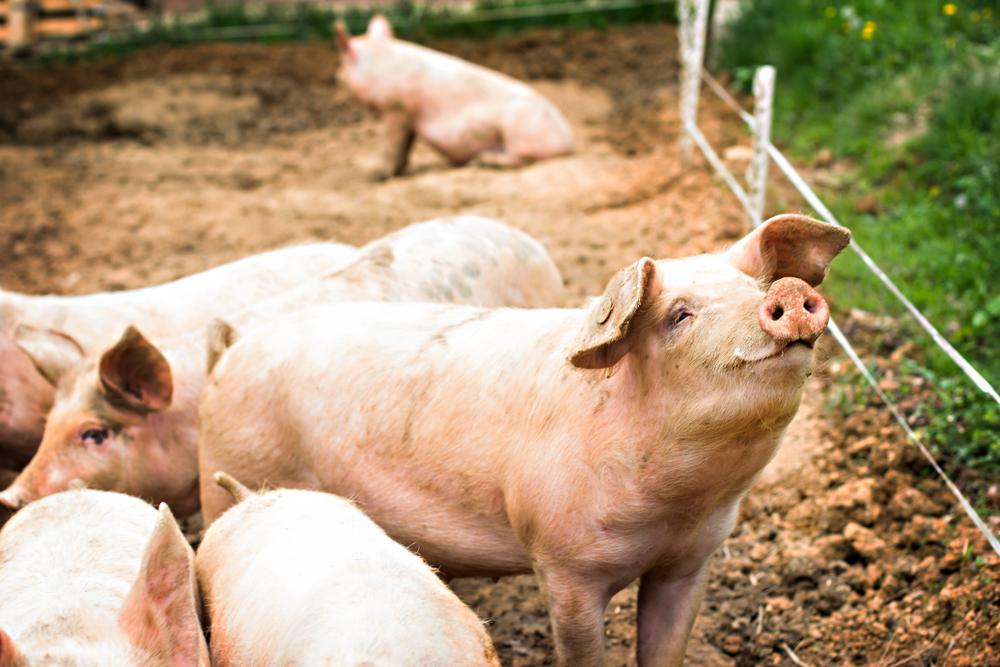 【国際】FAOとOIE、アフリカ豚熱の大流行で世界各国に対策協力要求。すでに700万頭殺処分 1