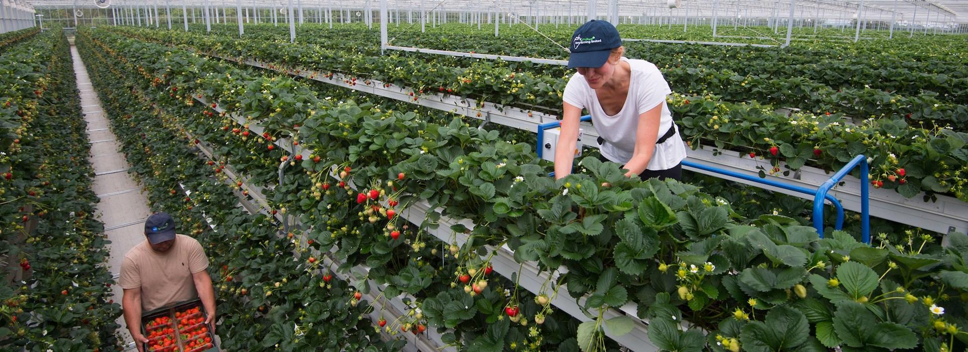 【イギリス】テスコ、商用規模イチゴ栽培初の垂直農法を実現。水消費量とCO2削減と収量増を両立 1